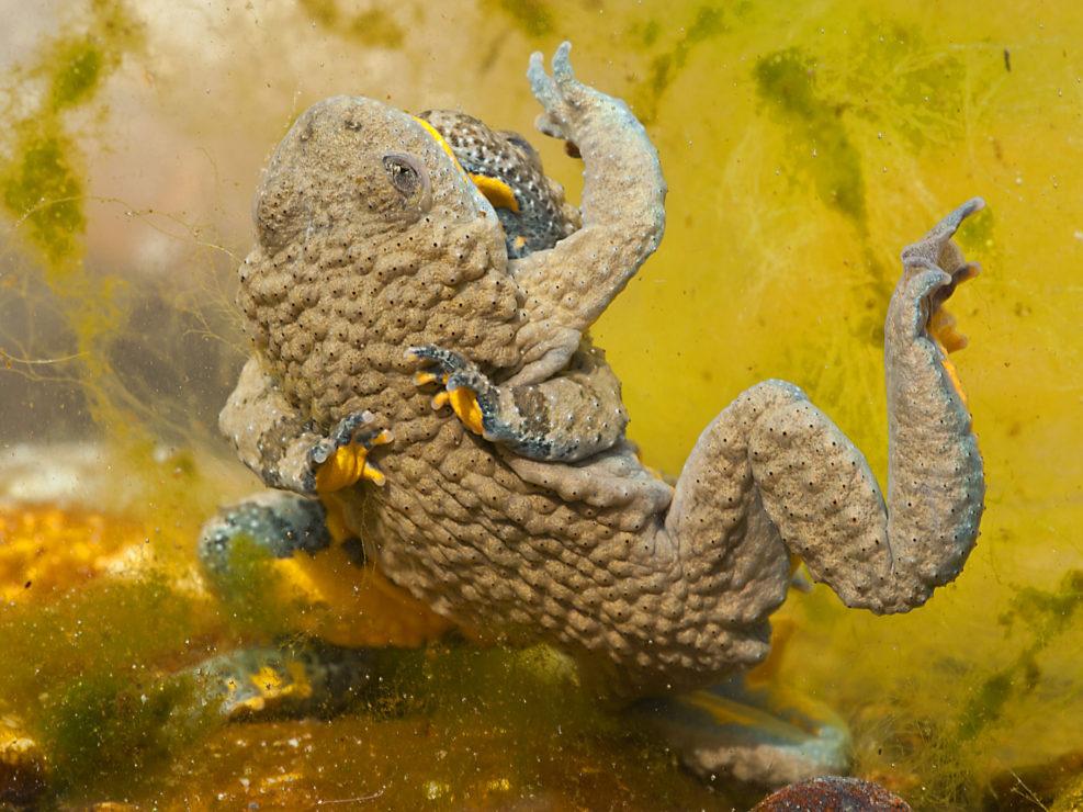 Fight for love, due maschi di Ululone Appenninico si contendo il territorio nel periodo della riproduzione. Oggi questa specie è seriamente minacciata su tutto il territorio nazionale a causa di alcune malattie fungine e la restrizione degli Habitat - Alpi Apuane.