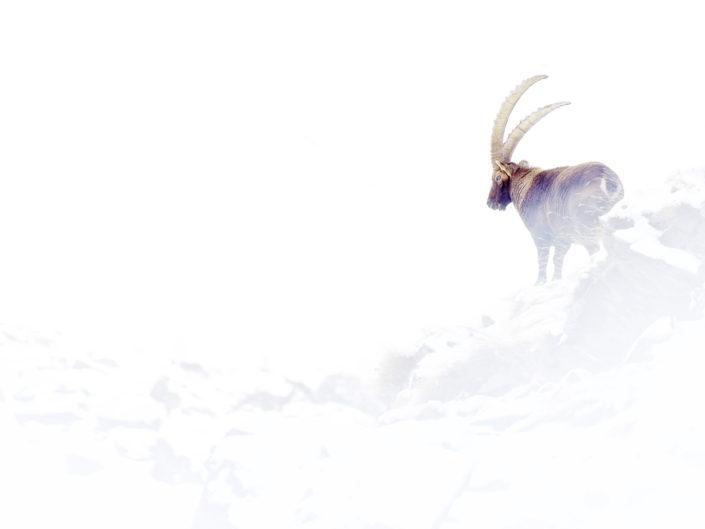 Stambecco durante una tormenta di neve - Parco Nazionale del Gran Paradiso.