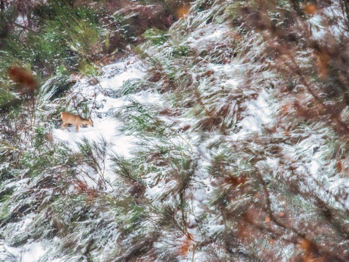 Una femmina di Capriolo bruca in una tiepida mattina di inizio inverno quasi nascondendosi tra le ginestre che emergono - Alpi Apuane.