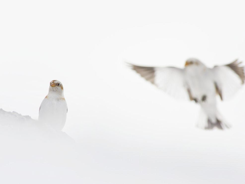 Tutti gli inverni è un vero spettacolo poter osservare nelle zone alpine lo Zigolo delle nevi, un fringillide che nei mesi più freddi migra a sud dando spettacolo sulle alture - Lessinia.