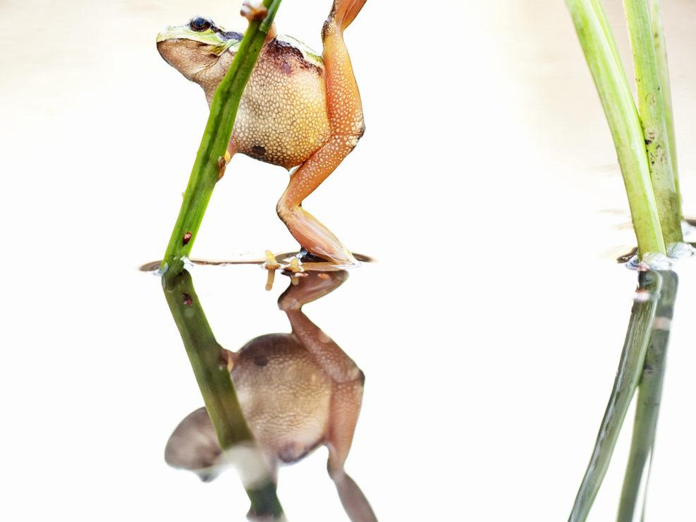 """Con il termine Mirrorless volevo rappresentare il ritratto di questa """"anima evanescente"""", una piccola raganella, un tesoro però che abbiamo tutti noi il compito di tramandare assieme ad altre specie sensibili e biotopi in pericolo alle future generazioni perché patrimonio inscindibile per chi verrà - Litorale Apuano."""