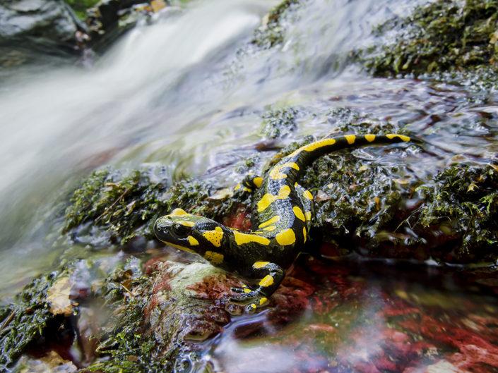 E' nella magia dell'autunno che andando per boschi si ha la maggiore possibilità di poter scorgere la Salamandra pezzata, chiamata anche salamandra del fuoco dall'antica credenza che essa potesse sopravvivere alle fiamme dell' Inferno - Alpi Apuane.