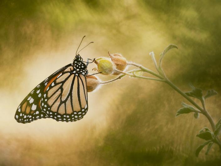 La monarca è un lepidottero originario dell' America che sporadicamente però può essere rinvenuto anche in alcune regioni dell'Europa come ad esempio la Spagna. La sua colorazione è una forma di mimetismo che ha funzione di scoraggiare gli eventuali predatori, di fatti se ingerita questa meravigliosa farfalla può essere sgradevole e talvolta tossica. Riprese effettuate in ambiente controllato.