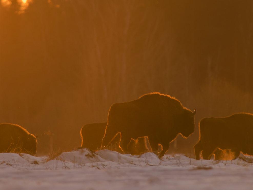 Bisonte europeo ripreso all'interno della foresta di Bialowieza - Polonia