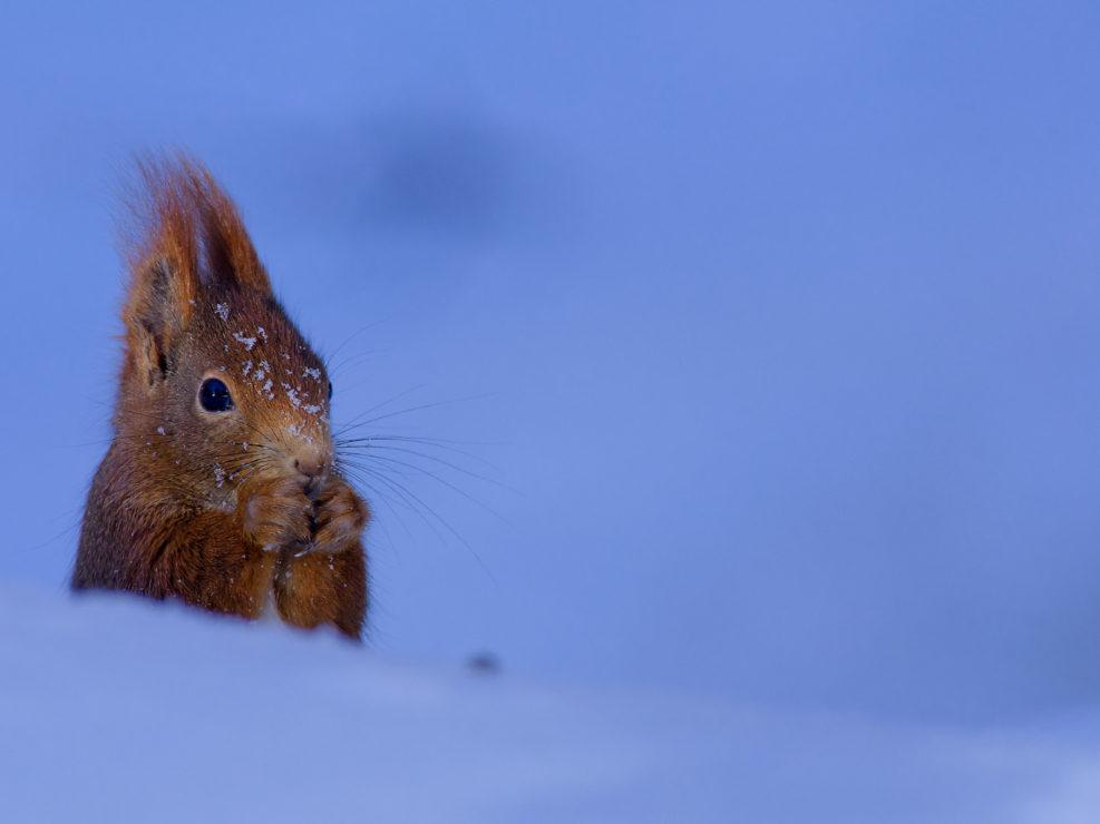 Lo Scoiattolo europeo è una specie oggi seriamente minacciata a causa dell'introduzione di specie alloctone come lo scoiattolo americano col quale entra in competizione alimentare.