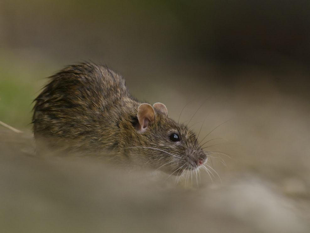 Surmolotto o ratto delle chiavighe, una specie alloctona che nei secoli ha avuto un grosso impatto sugli ecosistemi grazie anche alla sua estrema adattabilità