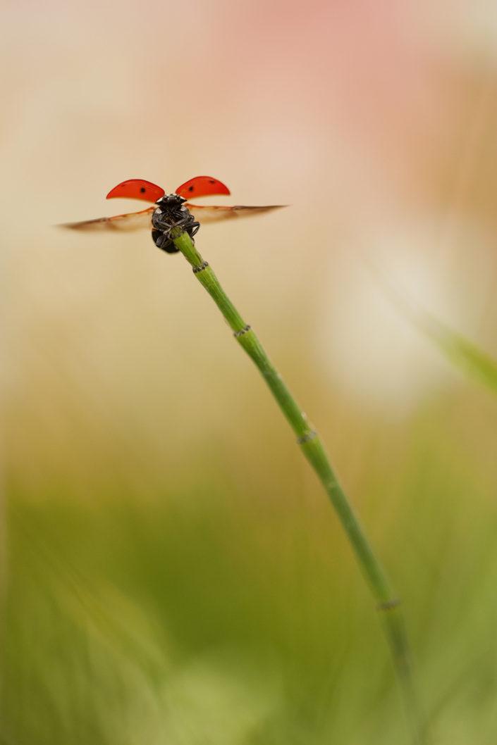 Un piccola coccinella quadripunctata spicca il volo da uno stelo di equiseto. Vorace coleottero predatore il suo colore spicca tra il verde della vegetazione, quasi come un monito per le sue prede ma anche uno spettacolo per chi si sofferma ad osservarla - Versilia.