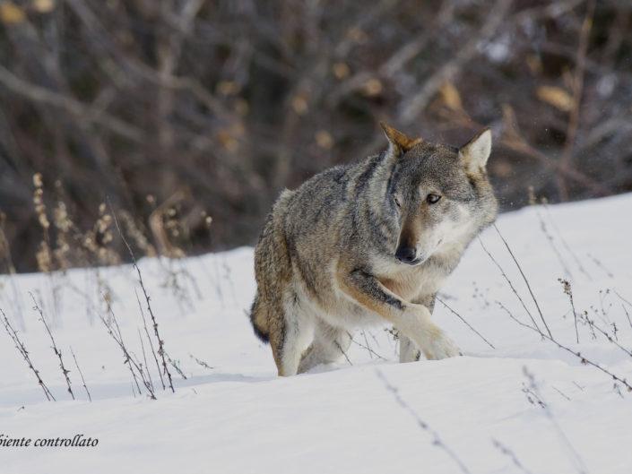 Un lupo appenninico si aggira guardingo nella neve appena caduta, riprese effettuate in ambiente controllato.