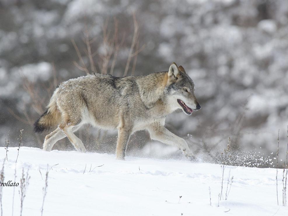 Un Lupo appenninico percorre il suo sentiero appena dopo una forte nevicata, le riprese sono state effettuate in ambiente controllato.