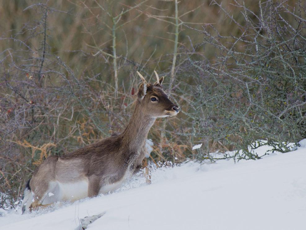 Un giovane daino fatica a procedere nella neve alta. Il daino è una specie introdotta a fini ornamentali e venatori originaria dell' Asia.