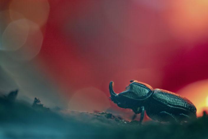 """Nonostante il suo aspetto rassomigliante allo scarabeo rinoceronte questo Sinodendron cylindricum è affine alla famiglia dei lucanidae, cioè la stessa del cervo volante! """"Ai confini dell' Ade"""" lo incrociamo con la sua armatura fatta di setole e cheratina - Alpi Apuane."""