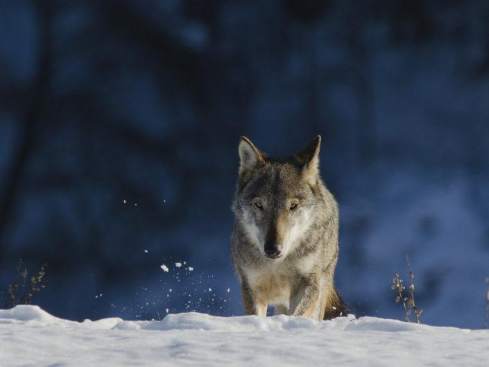 Il lupo appenninico, una risorsa ecologica che sta riappropriandosi dei suoi territori dopo secoli di persecuzioni