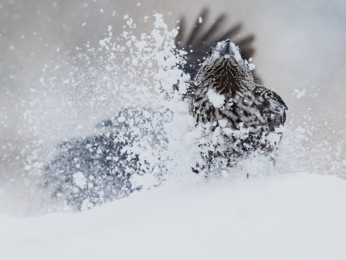 La nocciolaia è un corvide relativamente di grosse dimensioni che possiamo ritrovare nelle zone alpine e montuose d' Europa. Questa disputa è stata fotografata in Val Roseg durante il corso di un escursione dove la sono relativamente comuni da osservare. Svizzera.