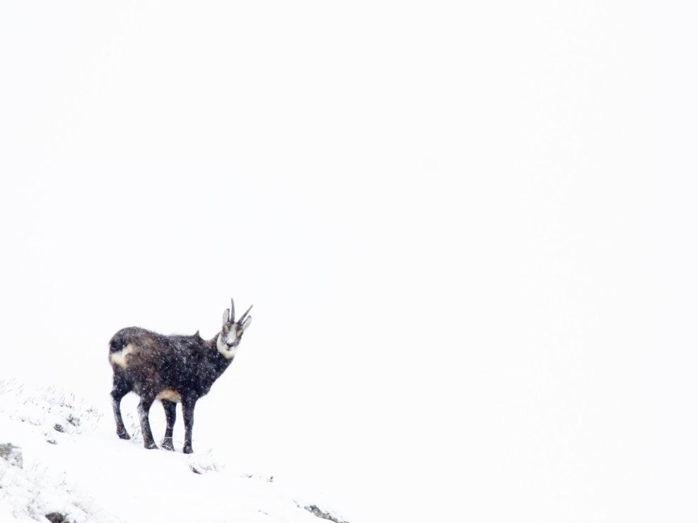 Un camoscio fotografato durante una escursione invernale all'interno del Parco Nazionale del Gran Paradiso