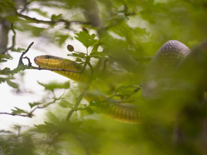 Il colubro di Esculapio o Saettone è un serpente prettamente arboricolo che ama cacciare nidiacei e piccoli mammiferi nelle zone sopraelevate della foresta - Alpi Apuane.
