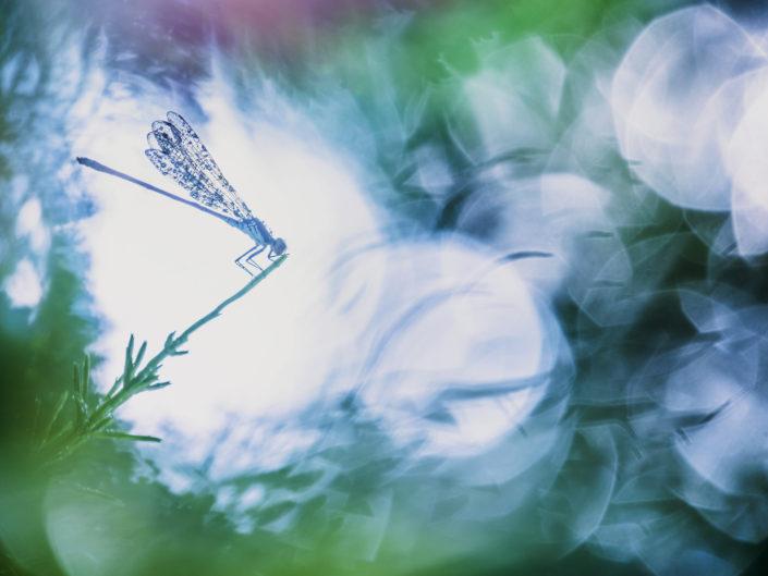 Piccolo odonato appartenente alla famiglia Erythromma, caratteristica di spicco di Erythromma viridulum è che gli occhi del maschio presentano una sgargiante colorazione rossa.Frequenta corsi d'acqua a lento scorrimento, risorgive e zone stagnanti, questo esemplare è stato fotografato in Versilia in una zona presumibilmente molto inquinata.