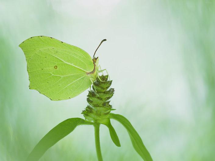 La cedronella è un lepidottero appartenente alla famiglia dei Pieridae molto precoce. E' in fatti una delle prime farfalle che possiamo osservare a primavera o nelle giornate più miti di fine inverno, ha più generazioni durante il corso dell'anno e gli esemplari sfarfallati in tarda estate possono svernare superando l'inverno. Può essere facilmente confusa con l'affine G. cleopatra.