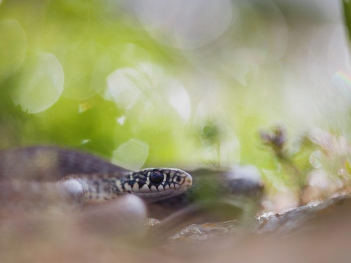 Un giovane esemplare di Biacco trova rifugio tra la vegetazione e le rocce lichenose - Sardegna.