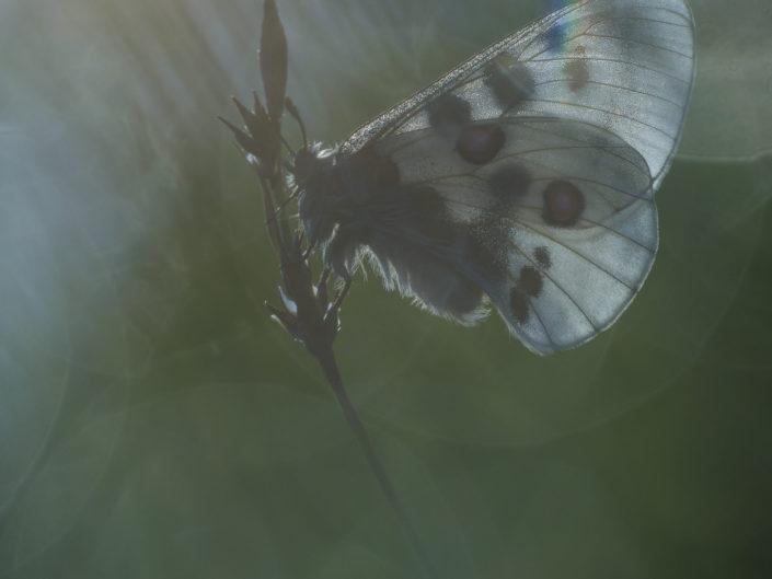 Il Parnassius apollo è una farfalla tipicamente alpina legata soprattutto a zone calcaree e ricche di detriti. Un vero spettacolo per gli occhi ed il cuore poterla guardare mentre volteggia sulle praterie di quota sfoggiando le sue caratteristiche macchie rosse e bianche che porta sulla pagina alare. Sicuramente un prezioso indicatore ambientale e della salubrità degli ecosistemi e un tesoro da tutelare - Alpi Apuane.