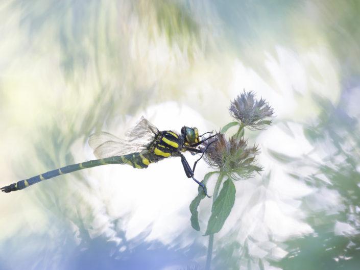 Una freccia giallo nera che solca i ruscelli alpini perlustrando il territorio. Cordulegaster boltonii è una libellula molto vistosa e presente in numerosi corsi d'acqua apuani, ha numerose sottospecie e una forma tipicamente appenninica.