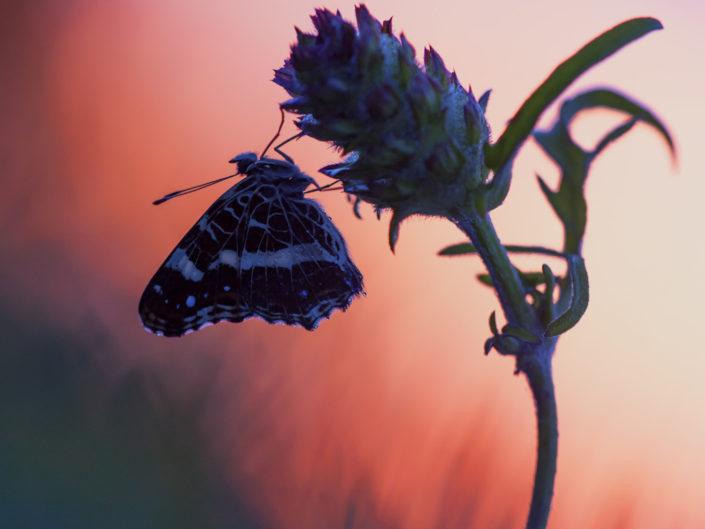 Il mattino ha l'oro in bocca e questo esemplare di Araschnia levana si inizia a riscaldare di fronte ai primi raggi di sole in una magnifica alba Trentina - Trentino Alto Adige.