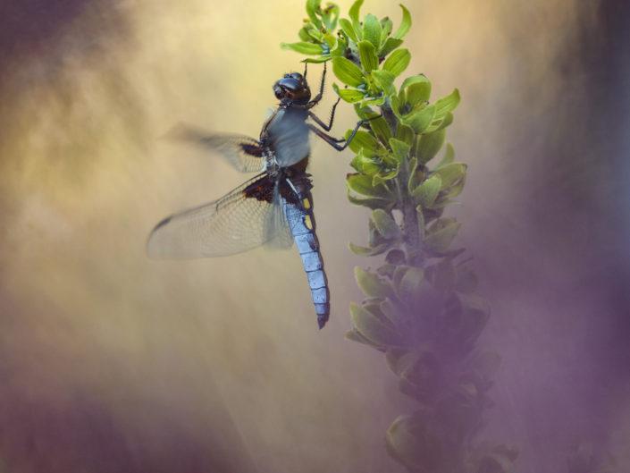 """Un maschio di Libellula depressa dal tipico dimorfismo sessuale, con la colorazione azzurra dell' addome, """"scalda i motori"""" in un warm up prima di involarsi. Foto effettuata in prossimità di una zona umida in Alpi Apuane."""