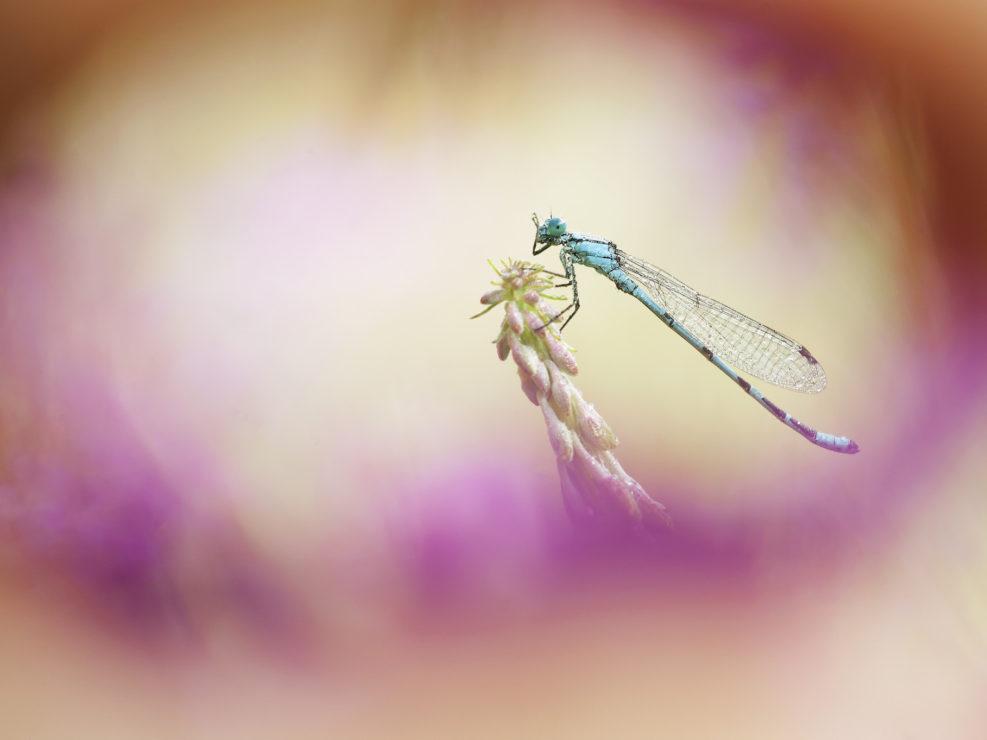 Questa sgargiante libellula che dovrebbe appartenere alla specie Enallagma cyathigerum è stata fotografata vicino ad un lago appenninico intenta ad asciugare la rugiada della notte tra i bellissimi fiori di epilobio che ne addobbano le sponde e le zone adiacenti.