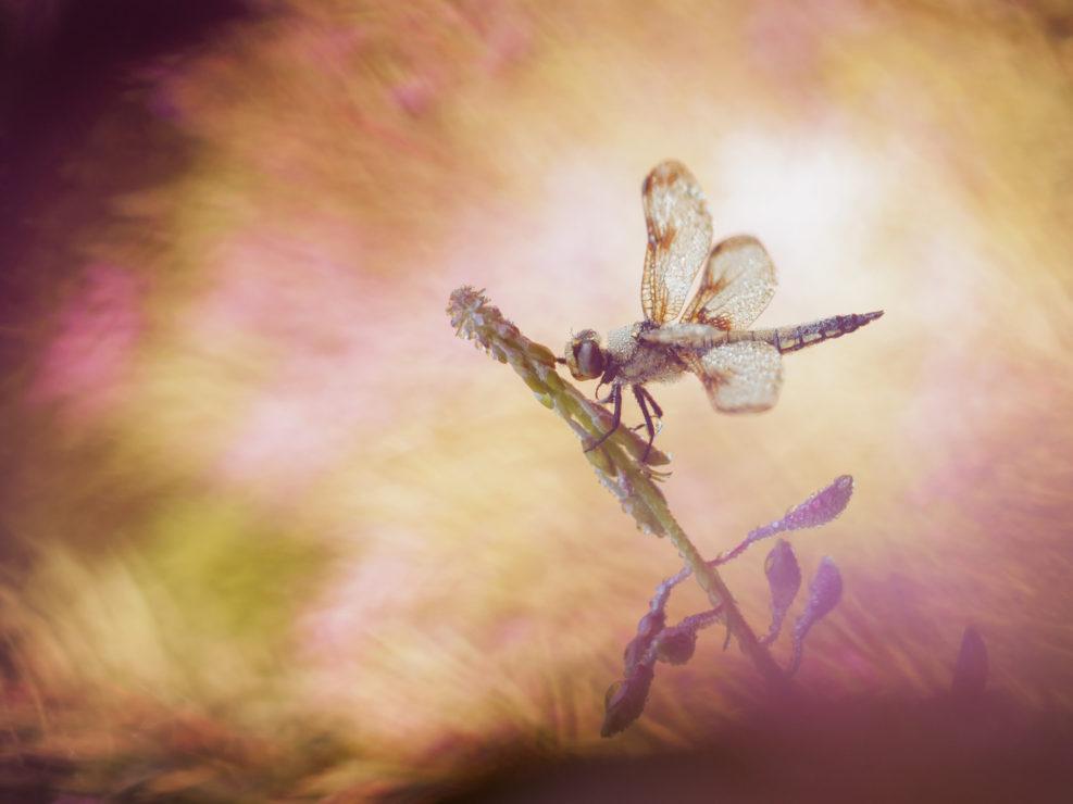 Tra il bosco di epilobi che contorna un grazioso laghetto appenninico questo magnifico esemplare di Libellula quadrimaculata sorseggia i primi raggi della giornata.L' umidità della notte qui è davvero molta e quasi tutte le sere lo specchio d'acqua assume un aspetto quasi spettrale con la nebbia che ribolle e investe tutte le piccole creature dormienti. Appennino Tosco Emiliano.