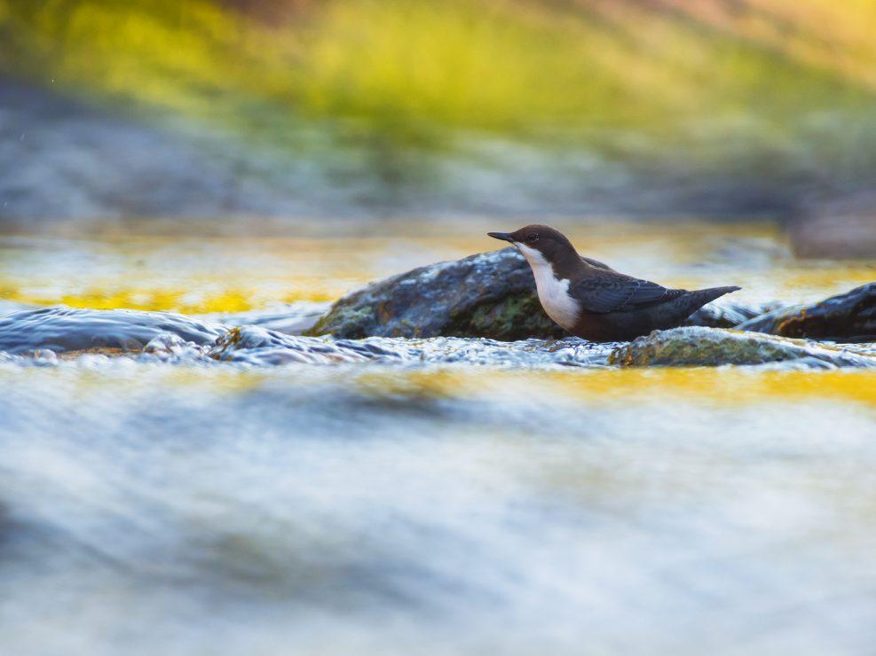 Un Merlo acquaiolo riemerge dalle rapide di un ruscello montano. Entrambi i sessi di questa specie non presentano particolare dimorfismo sessuale e sono molto simili - Alpi Apuane.