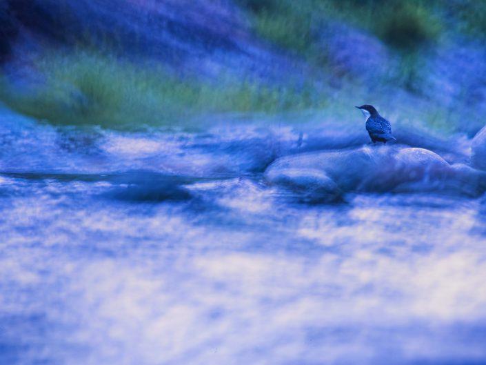 In questo scatto volevo rappresentare il merlo acquaiolo nell' habitat in cui i muove solitamente enfatizzandone l'atmosfera - Alpi Apuane.