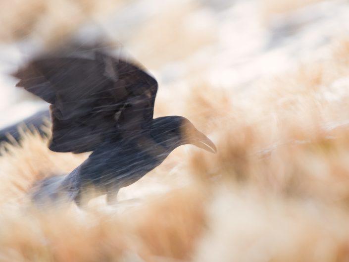 """Un corvo imperiale si destreggia tra """"schegge di ghiaccio e neve """", la tormenta incalza e da li a poco una bianca coltre di neve ricoprirà tutta la prateria rendendola bianca e desolata scaldando però il mio cuore e dando sfogo alla mai creatività - Alpi Apuane."""