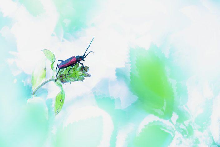 Effimera presenza un piccolo cerambice dagli sgargianti colori come un faro in mezzo ad un multiverso dalle sfaccettature incerte - Alpi Apuane.