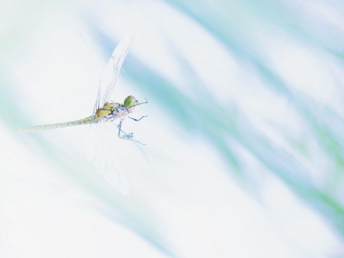 Questa femmina di libellula appartenente alla specie Sympetrum foscolombii da poco metamorfosata si è imbattuta nella tela di un ragno. Da abile predatrice è divenuta così una preda nel ciclo selettivo dello stagno dove è stata fotografata, Manerba del Garda.