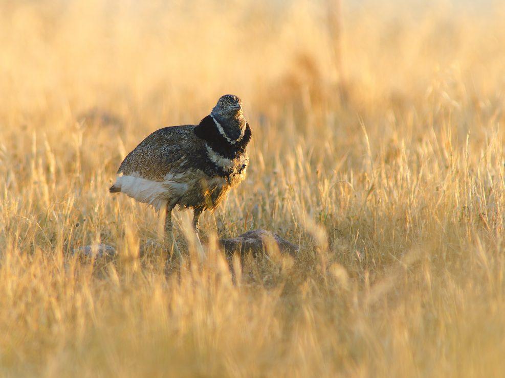 La Gallina prataiola è una vera e propria rarità per il nostro paese. Essa infatti a causa della diminuzione degli habitat, l'antropizzazione ed il bracconaggio si sta sempre di più rarefacendo. Qui ritratta dopo le fasi di display in un incolto - Sardegna.