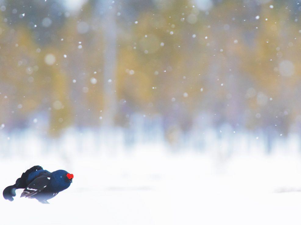 Arriva la neve, la calma. Il gradevole suono emesso da decine di Galli forcelli nei Lek da una sensazione quasi fluttuante alla mattinata e dietro il vociferare di alcune gru europee, lontane, effimeri miraggi nella foschia che sale....poi il freddo che mi scalda il cuore, la fatica, tutto mi fa desiderare di voler tornare ancora e presto in questi meravigliosi anfratti del nostro Nord - Svezia.