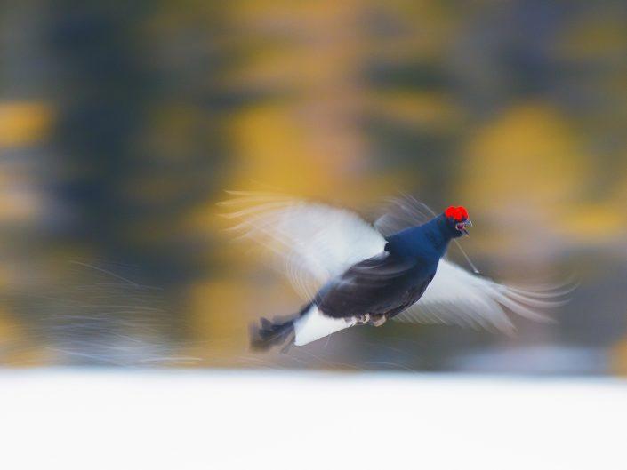 Voli radenti, forme, incertezze ma anche gioia personale nel poter osservare l'eleganza fatta animale. Un Fagiano di monte vola verso una disputa territoriale all'interno di un Lek nella Taiga Svedese - Svezia.