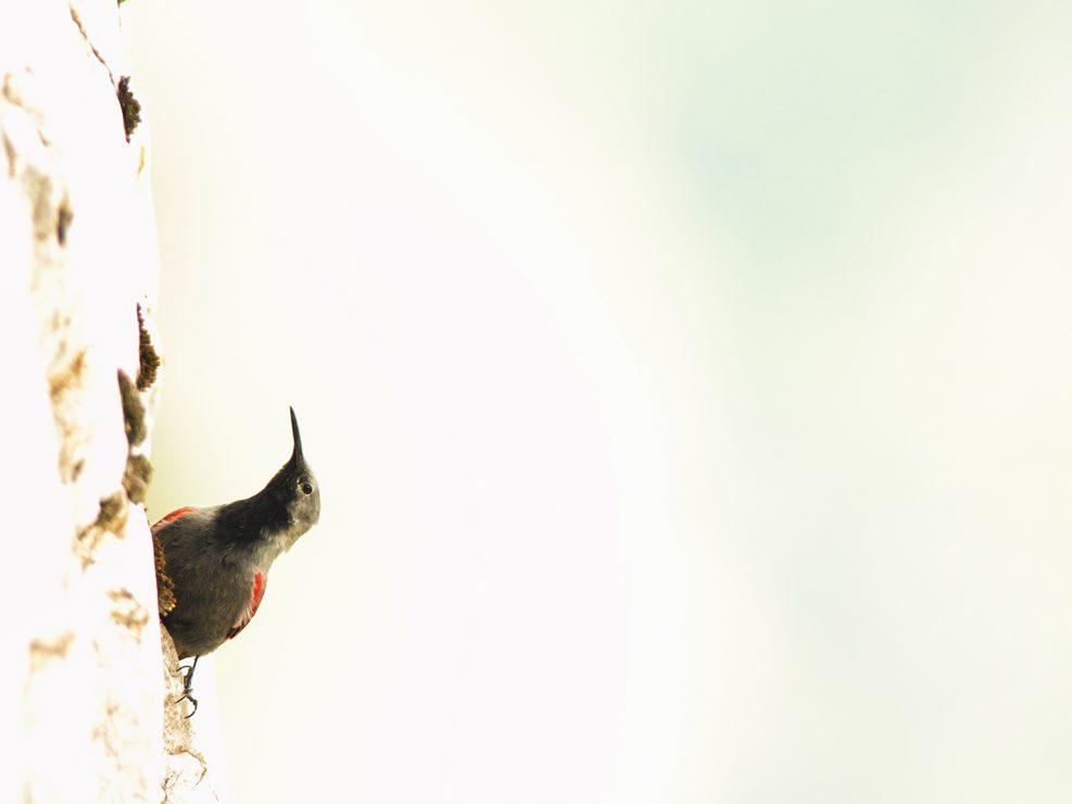 Alte cime calcaree, l'ambiente ideale per poter osservare questa piccola meraviglia della natura, il Picchio muraiolo, intento a cercare piccoli insetti ed artropodi . In queste montagne lo chiamano la farfalla delle Apuane a causa del suo caratteristico volo - Alpi Apuane.