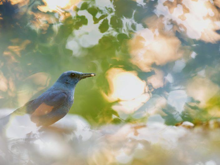 Passero solitario ritratto in ambiente di cava dalla caratteristica colorazione che nel maschio è blu scuro metallico. Alpi Apuane.
