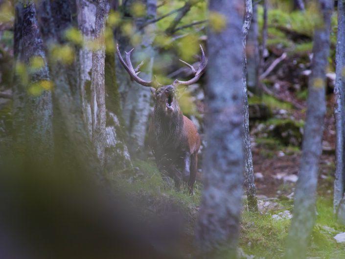 Un cervo bramisce nel cuore della foresta. Uno dei momenti per me più magici dell'anno.