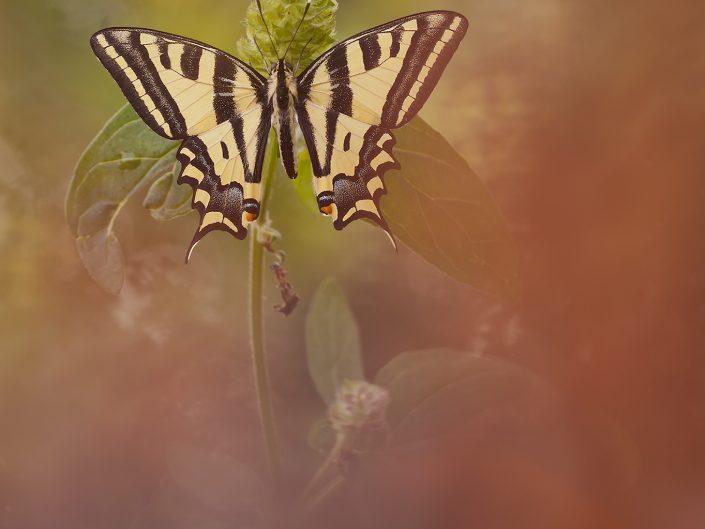 L' alexanor è un piccolo gioiello appartenente alla famiglia dei papilionidi. In Italia possiamo osservarlo in alcune zone della Liguria, questo è un esemplare fotografato durante un Tour in Francia.