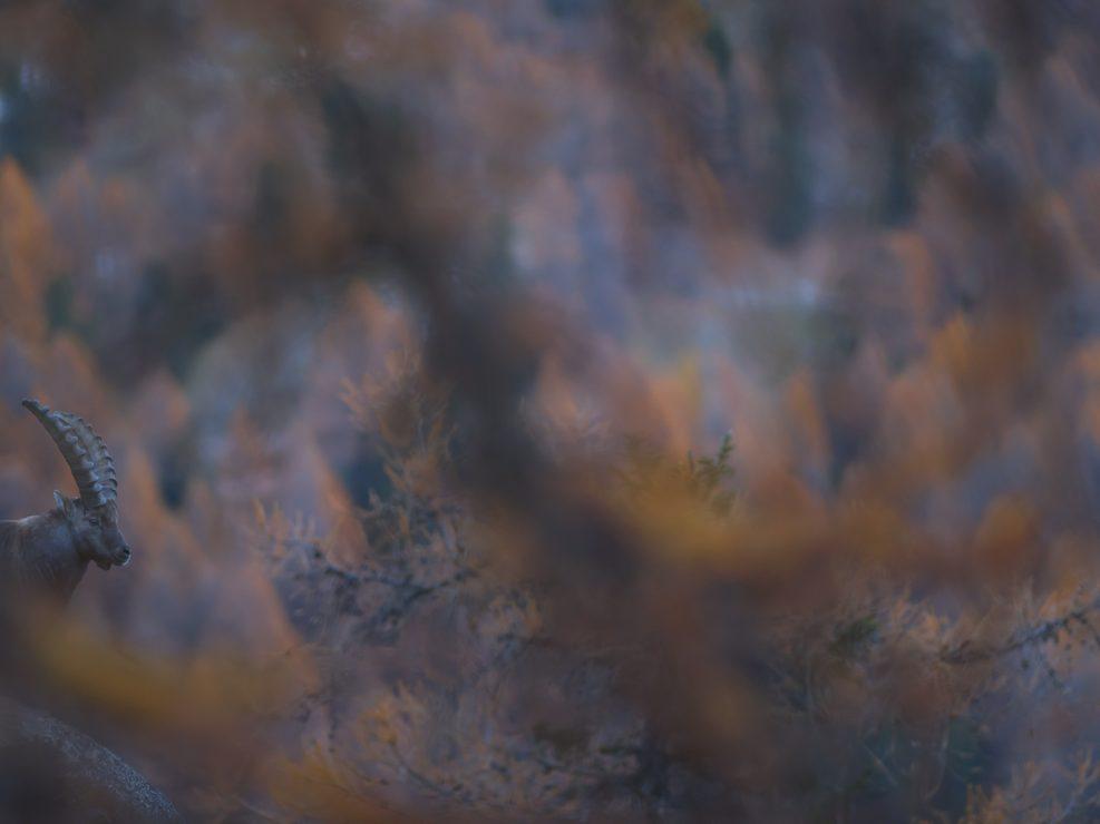 Stambecco ripreso in ambiente autunnale - Valle d' Aosta.