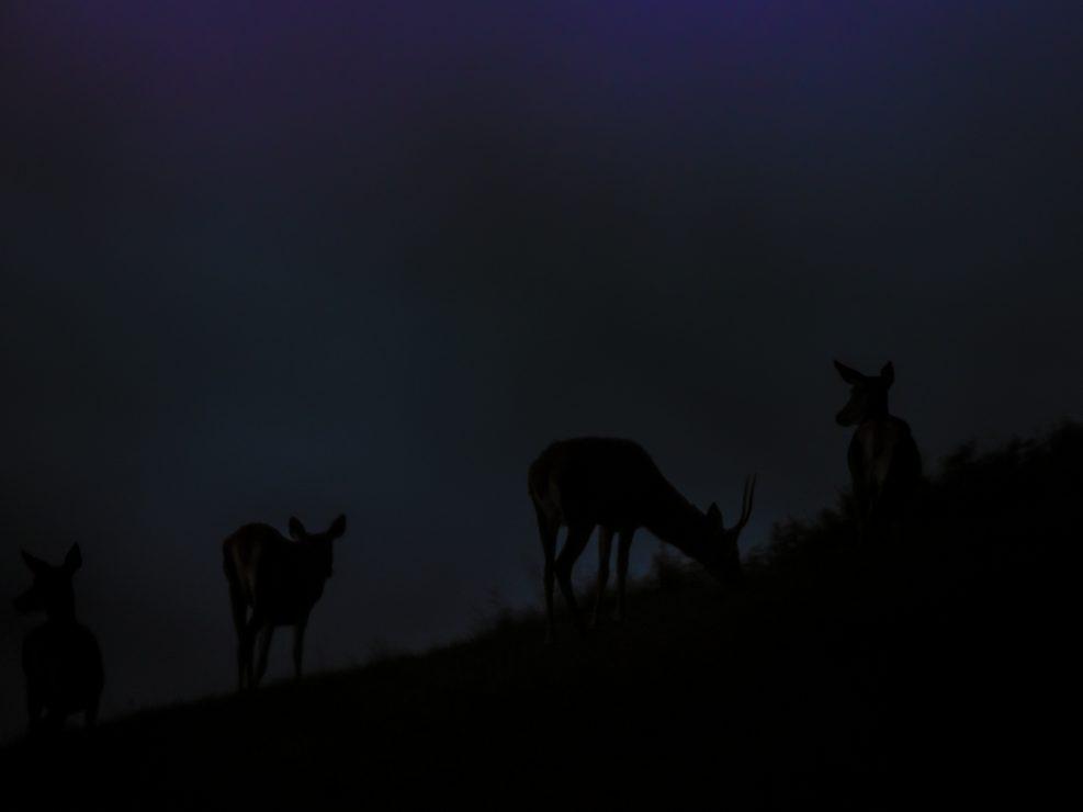 Un giovane Fusone bruca assieme ad un gruppo di femmine - Appennino Tosco Emiliano.