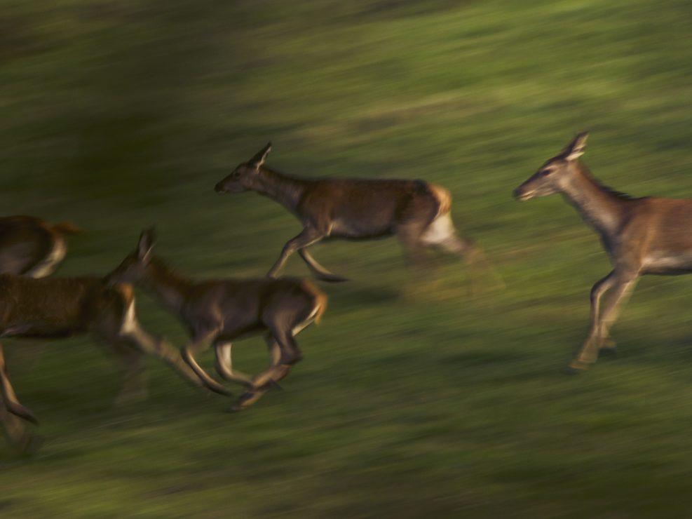 Un gruppo di Cerve e cuccioli corrono verso il branco centrale - Appennino Tosco Emiliano.