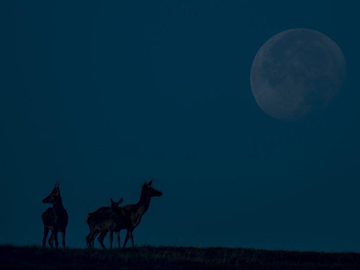 Un Fusone e due cerve si godono la luna piena che sta per tramontare - Parco Nazionale dell' Appennino Tosco Emiliano.