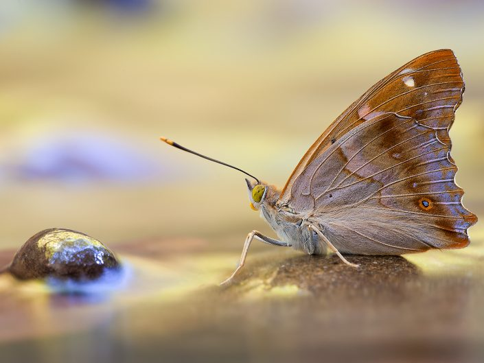 Un esemplare di Apatura ilia fotografato ai margini di un rigagnolo di media montagna. Questo Nymphalidae è solito suggere liquidi come la melassa, essenze in fermentazione e feci e non è difficile poterlo osservare vicino a piccole pozze o corsi d'acqua. E' una specie in riduzione - Garfagnana.
