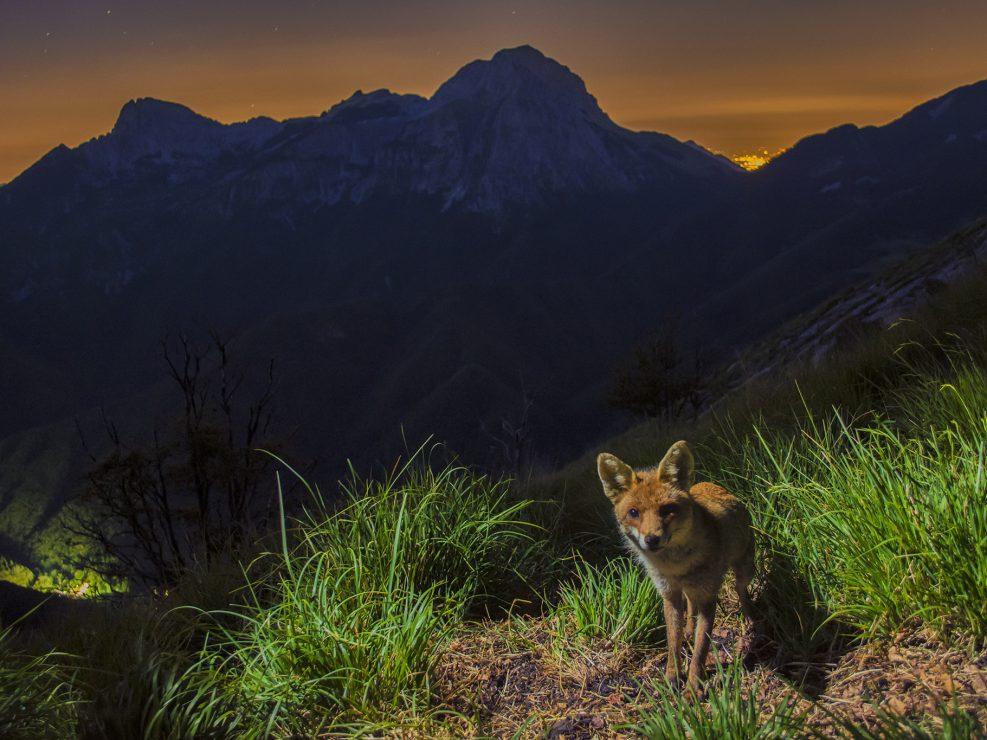 Una Volpe attraversa un sentiero all'interno del Parco Regionale delle Alpi Apuane.