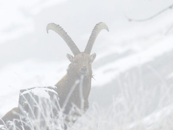 Stambecco durante una tormenta di neve all'interno del Parco Nazionale del Gran Paradiso