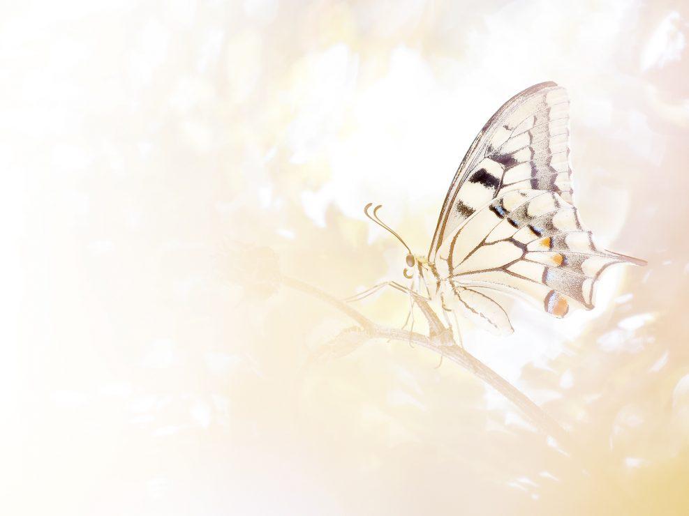 Il Macaone è una farfalla piuttosto comune ma dalla bellezza ineguagliabile! Questo esemplare è stato fotografato in Sardegna mentre cercavo una specie affine, la Papilio hospiton, che però non ho potuto osservare - Sardegna.