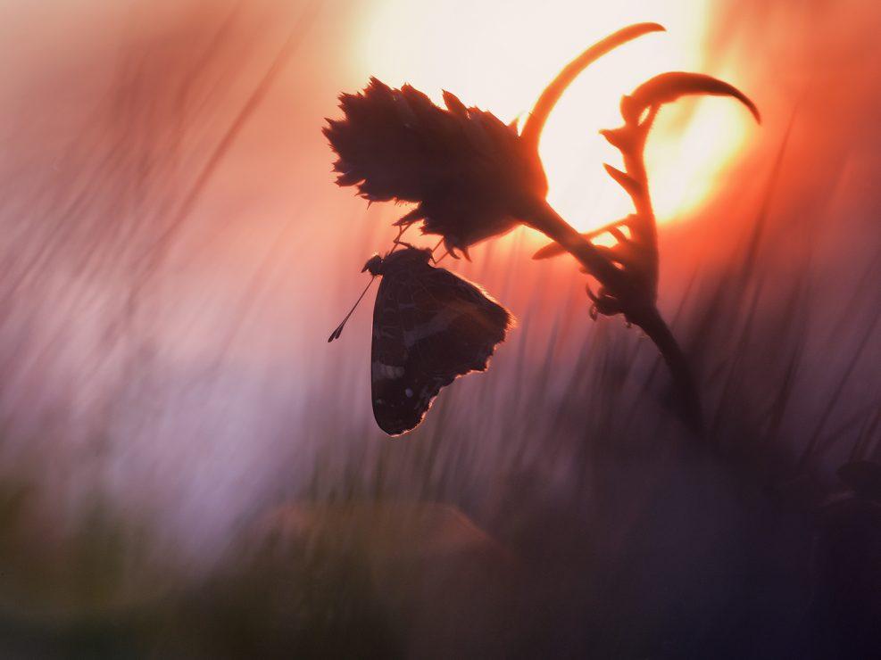 Araschnia levana è oggi uno tra i Ninfalidi più minacciati a causa della riduzione degli habitat, l'inquinamento, il global warming e molti altri fattori che ne determinano una forte riduzione - Trentino.
