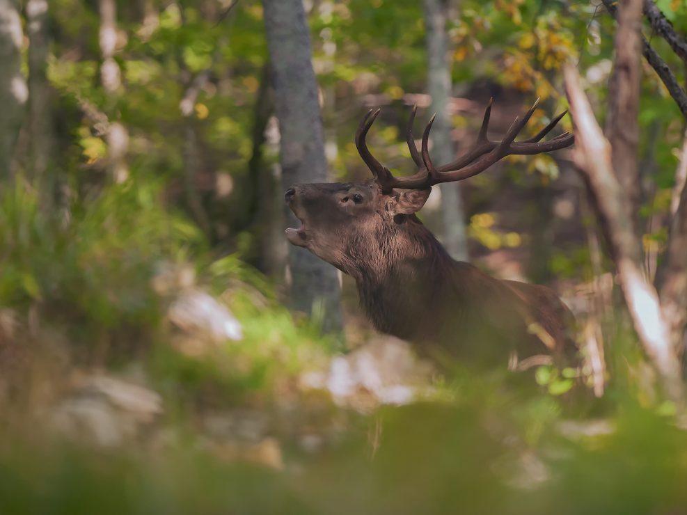 Un Cervo bramisce nel cuore della foresta, un momento romantico in cui la natura fa sentire tutta la sua potenza e armonia e dove questo dolce richiamo riecheggia per le valli - Garfagnana.